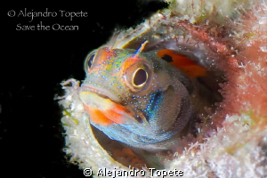 Beuty Blenny, Acapulco Mexico by Alejandro Topete 